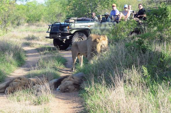 Lion sighting during a Kruger Park Safari.