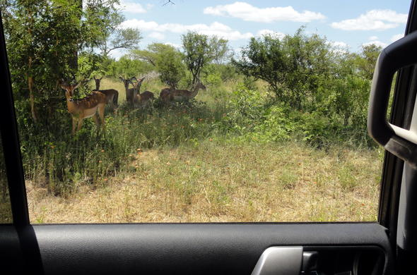 Spotting buck during self-drive Kruger Park safari.