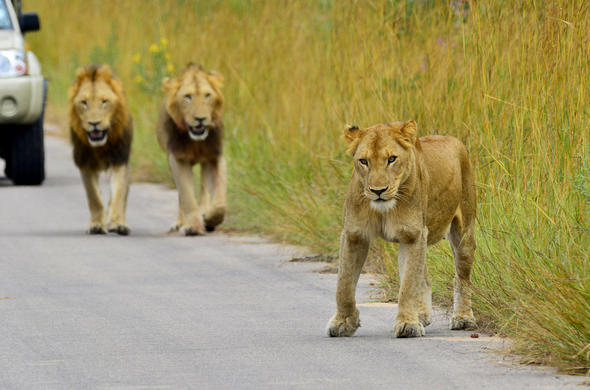 Lion sightings during a Kruger Park safari.