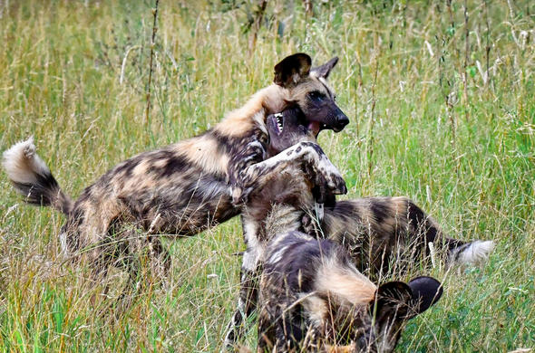 Pack of wild dogs in the Kruger National Park.