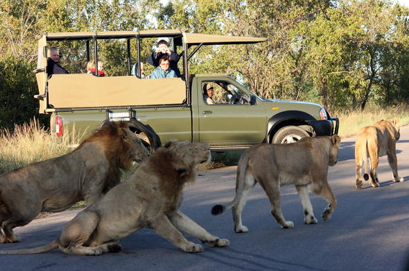 Lion sighting during your Tented Kruger Park Safari.