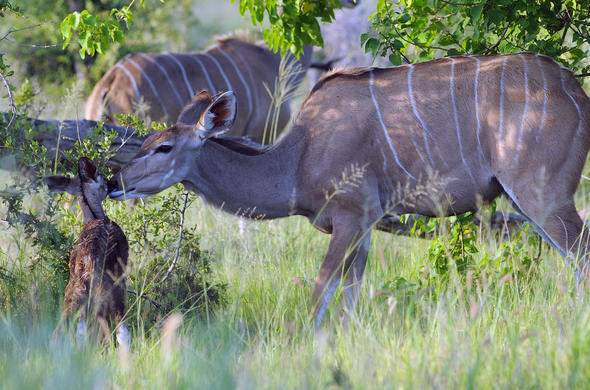 Kudu female with calf. G Cooke