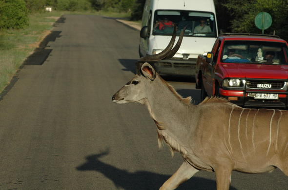 A Kudu in the Road