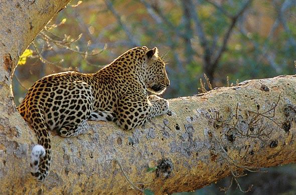 Leopard at dawn. Albert Froneman