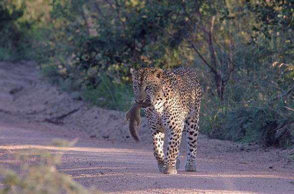 Leopard with prey. G Cooke