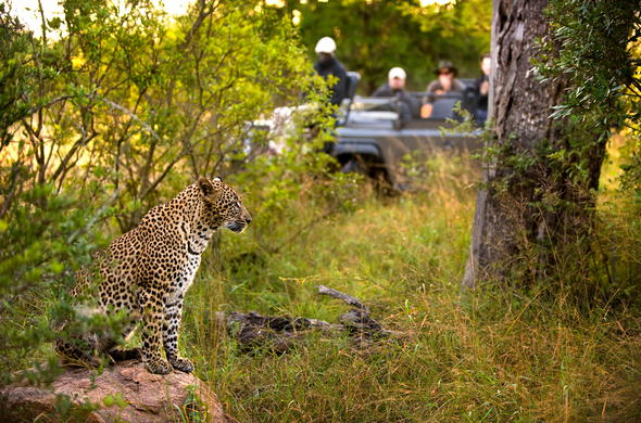 Leopard sighting in Kruger National Park.