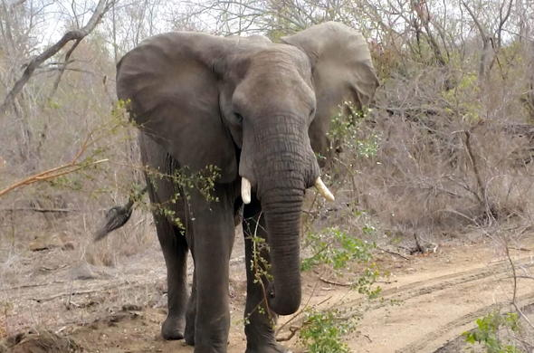 See elephants during your Kruger Park safari.