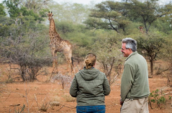 Giraffe are among the antelope of Kruger Park.