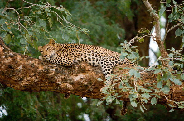 See Leopard on your Kruger Park safari.