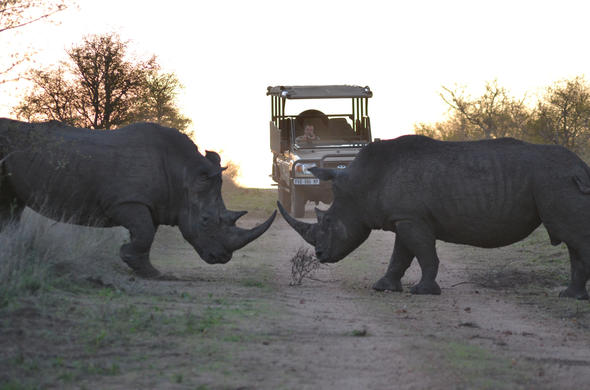 Rhino Late Afternoon Safari. Hamiltons Tented Camp