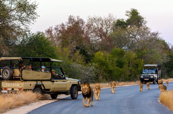 Pride of lions sighting during a game drive in Kruger National Park.