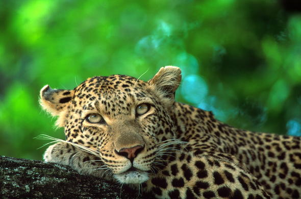 In Kruger National Park you will see leopard among other wildlife.