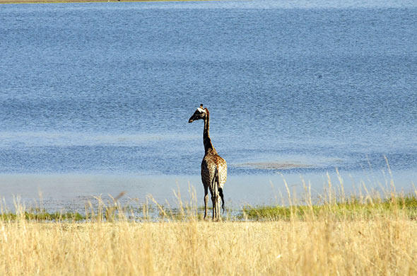 A giraffe at the river. G Cooke