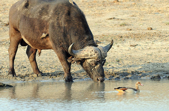 A buffalo drinking from a waterhole. G Cooke
