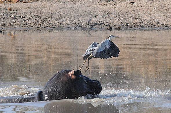A hippo emerging out of the water. G Cooke