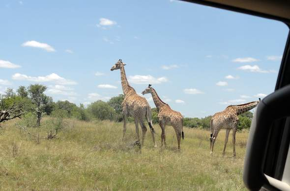 Self-drive game viewing in the Kruger National Park.