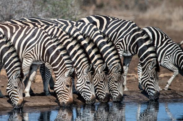 Dazzle of zebra in the Kruger National Park.