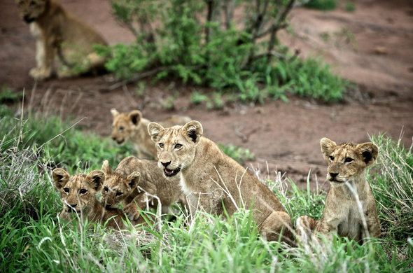 Lion cubs at Singita Sweni Lodge.