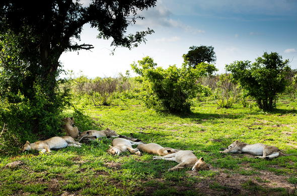 Lions sleeping under a tree in Kruger Park.