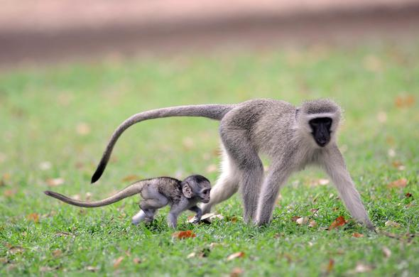 Vervet Monkey and Infant