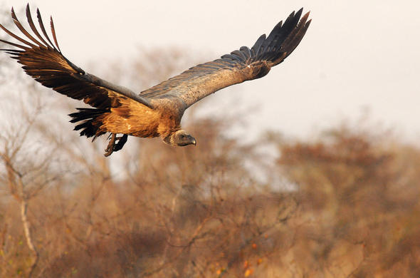 Vulture in flight. G Cooke