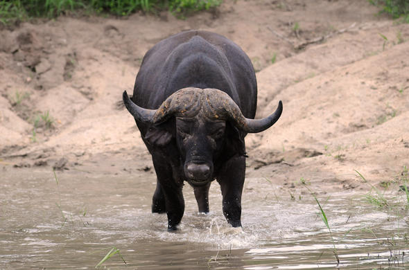 Wary buffalo. G Cooke