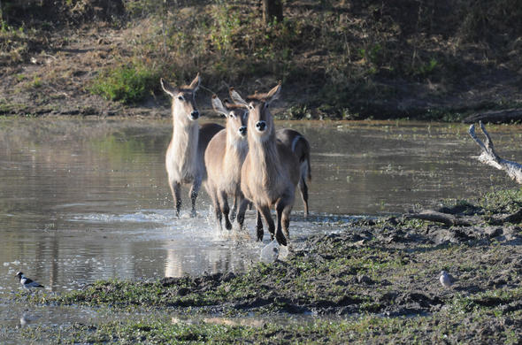 Waterbuck crossing a river