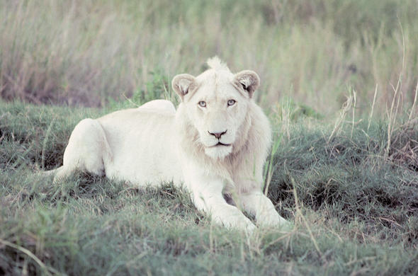 White lion. Hilton-Barber