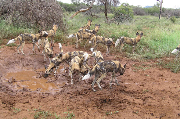 Wild dogs at a mudhole